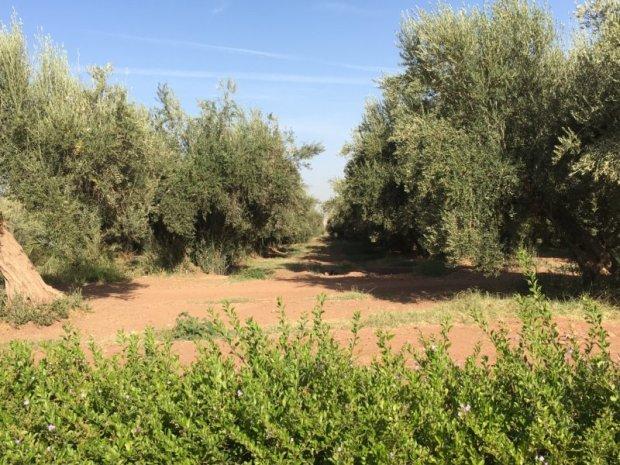 Menara Gardens olive trees