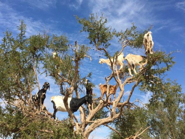 Essaouira goats in trees
