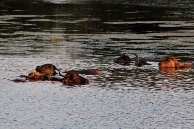 Buffalos in water, Yala National Park