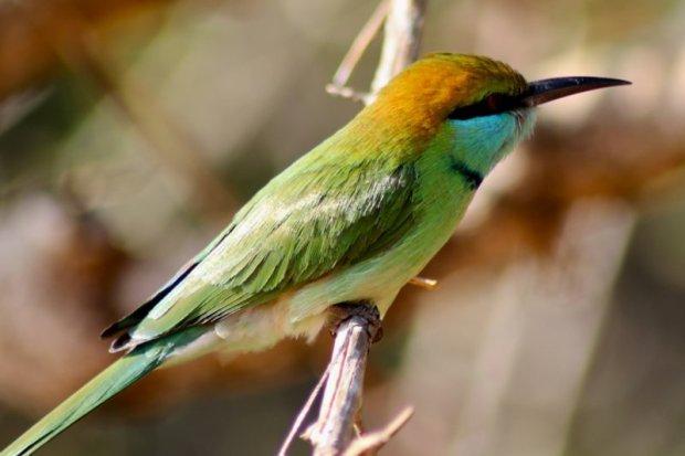 Colorful bird, Sri Lanka