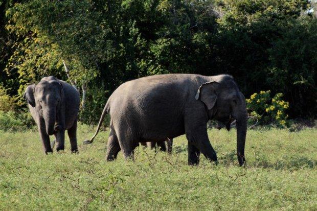 Yala National Park elephants