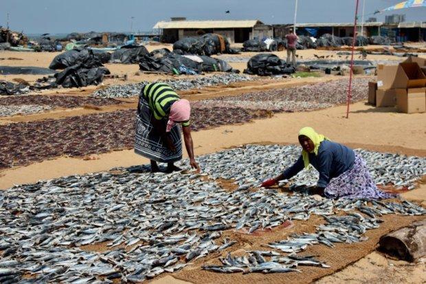 Handling fish, Negombo