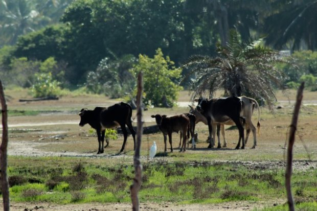 Kalpitiya cattle