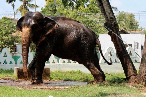 Buddhist temple elephant, Sri Lanka's South Coast