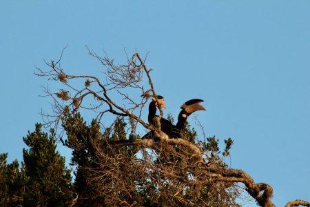 Hornbills, Yala National Park