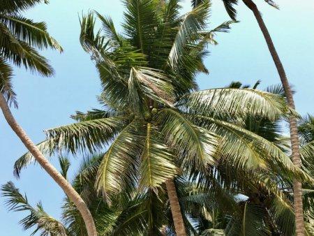 Sri Lanka's South Coast palms