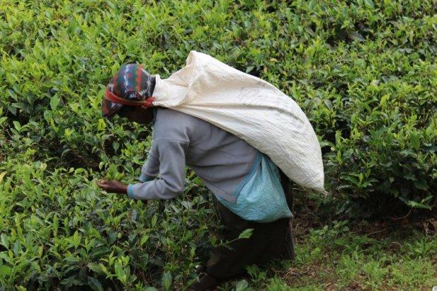 Sri Lankan woman picking tea