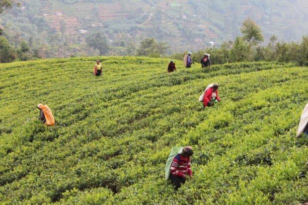 Women picking Ceylon tea