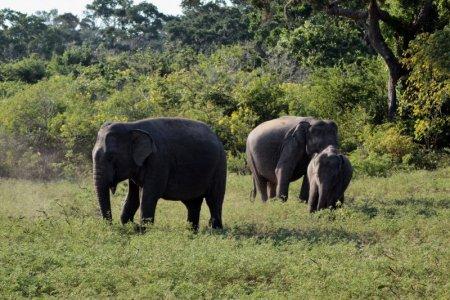 Yala elephant family
