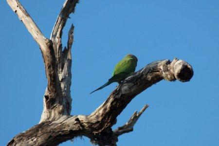 Yala National Park parrot