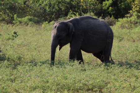 Yala elephant