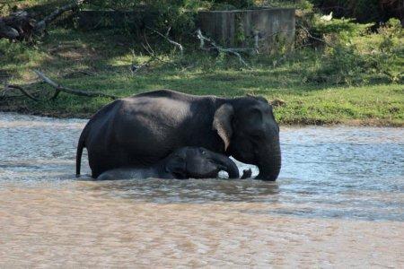 Yala elephants in river