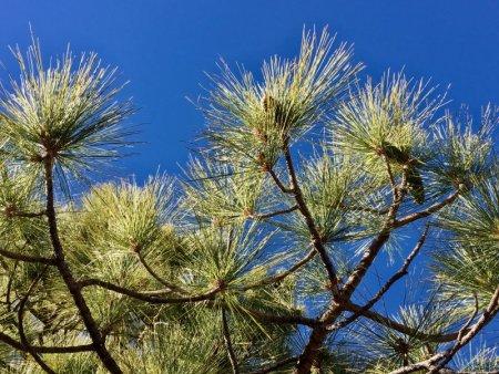 Parque Nacional del Teide pine