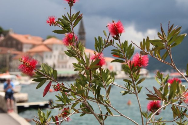 Perast and red flowers