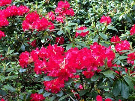 A Haaga Rhododendron, Helsinki