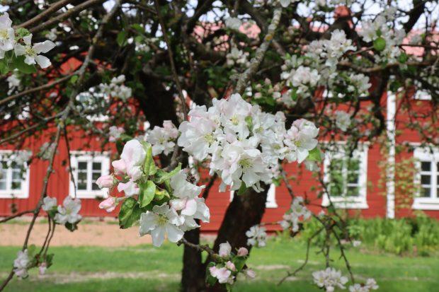 Apple blossom in Hämes-Havunen, Kauhajoki