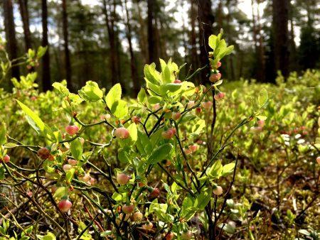 Blueberry in blossom, Kallvik, Helsinki