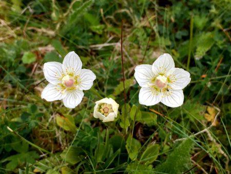 Arctic flowers in Vesterålen, Norway
