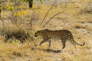Léopard, Etosha, Namibie - les Routes du Monde