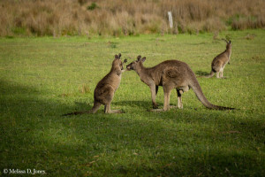 Kangaroos at Play