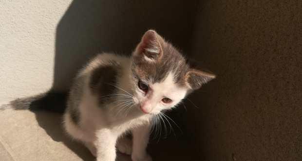 Gattino da adottare a Rovato
