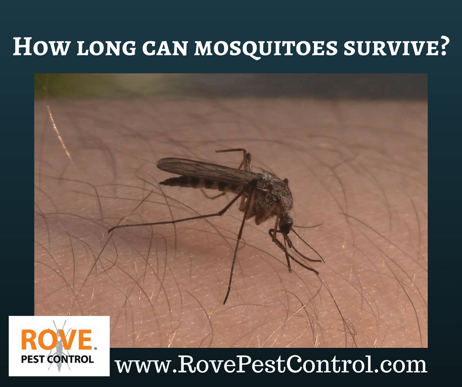 How long can mosquitoes survive  Rove Pest Control