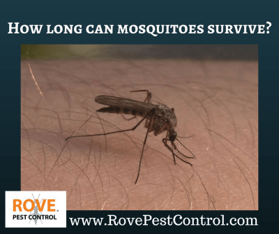 How long can mosquitoes survive? - Rove Pest Control