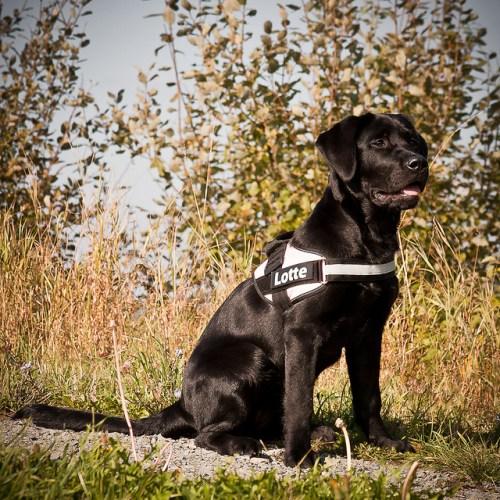 Labrador Retriever - Top 10 Smartest Dog Breeds