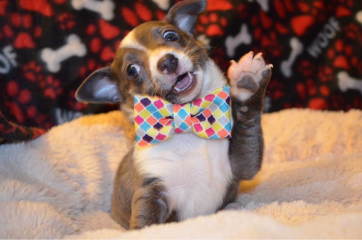 Literally Just 22 Pictures Of Puppies In Bow Ties The