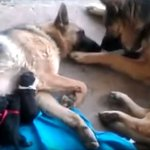 Dog Dad Gives Mom Kisses As She Feeds Their Newborn Puppies Video The Dog People By Rover Com