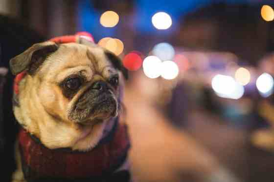 A pug being held on a busy city street