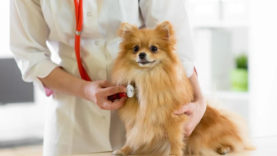 dog vital organs diagram wiring for standalone photocell inside story great installation of congestive heart failure in dogs symptoms treatment and prognosis rh rover com