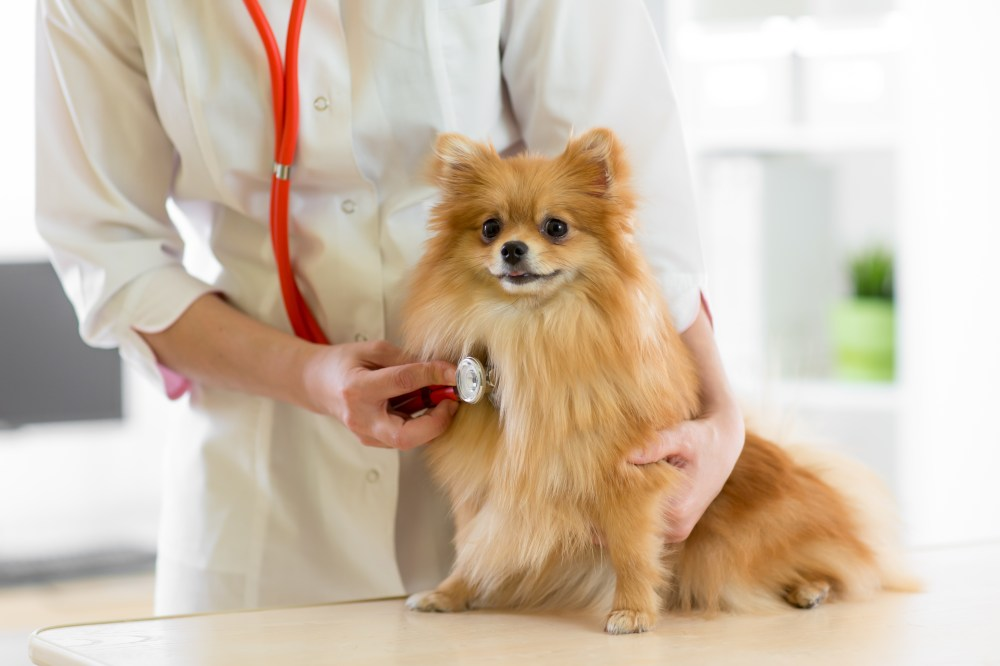 medium resolution of congestive heart failure in dogs symptoms you don t want to miss