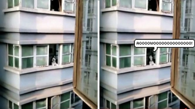 Husky Returns Man S Howl From Apartment Across The Street Video Dog People By Rover