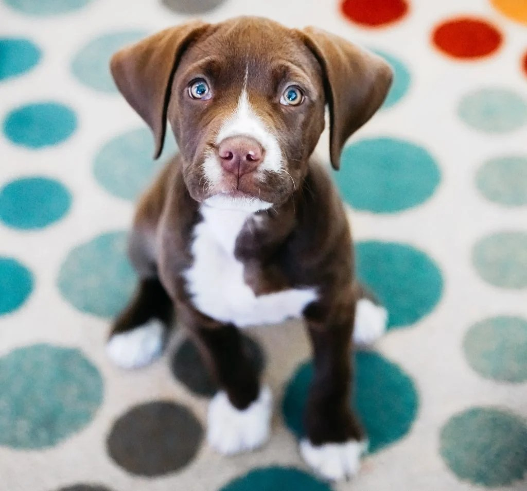 A puppy sits attentively on the carpet.