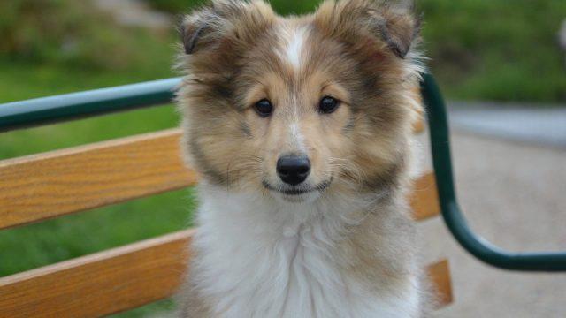 Image result for 9. Shetland Sheepdog.