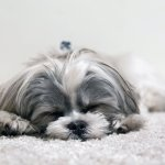 Shih Tzu Puppies The Ultimate Guide For New Dog Owners The Dog People By Rover Com