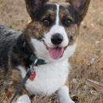 The 119 Most Popular Corgi Names Of 2020 Top Dog Names 2020