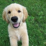 251 Top Golden Retriever Names Of 2020 Ranked By Popularity