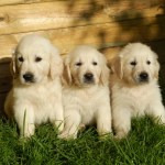 Golden Retriever Puppies Everything You Need To Know The Dog People By Rover Com