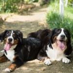 The 109 Most Popular Bernese Mountain Dog Names Of 2019