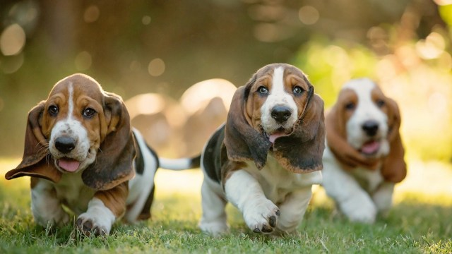 bagle hound puppies
