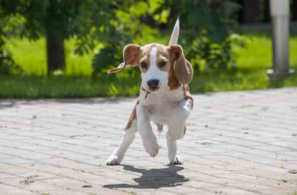 Popular Beagle Names Of 2018 Dog People