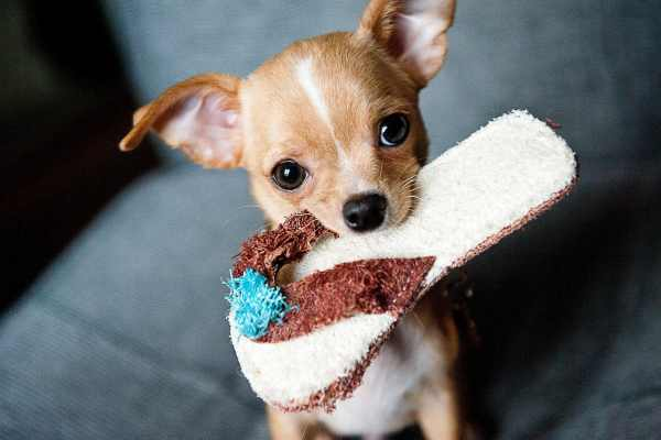 The 115 Most Popular Chihuahua Names of 2020 | The Dog People