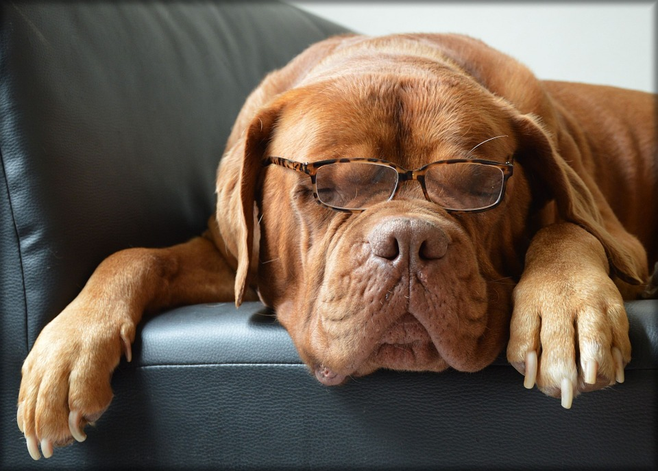 dog in glasses
