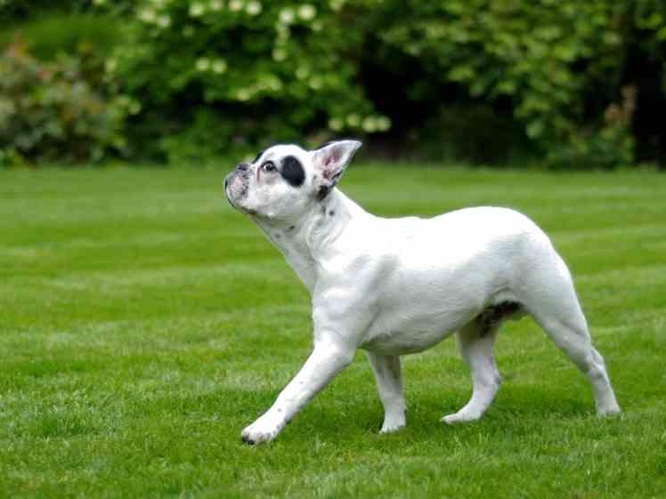 French Bulldog walking on green grass.