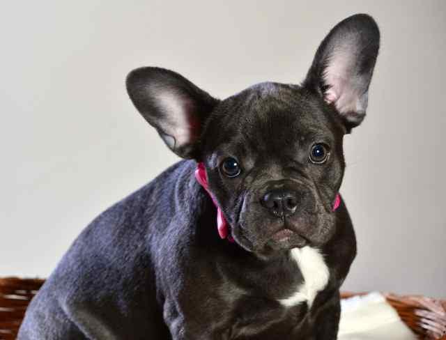 french bulldog grooming: bathing, shedding, and more