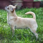 Chihuahua Dog Breed Facts Information The Dog People By Rover Com