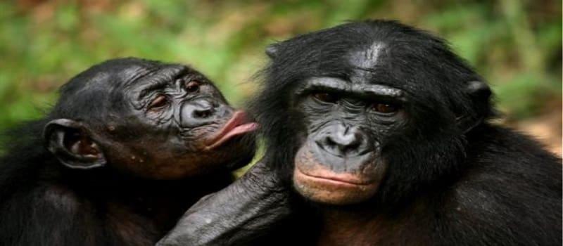 Πόσο χαίρομαι που δεν είμαι... χιμπατζής