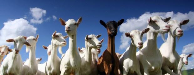 goats donation Christmas oxfam